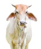被隔绝的母牛 库存照片