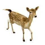 被隔绝的母sika鹿 免版税库存照片