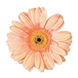 被隔绝的浅粉红色的大丁草花 库存图片