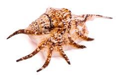 被隔绝的海壳 免版税库存图片