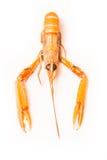 被隔绝的海螯虾 免版税库存照片