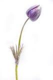 被隔绝的淡紫色snowdrop花蕾 库存照片