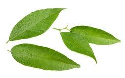 被隔绝的湿蜜桔叶子 免版税图库摄影