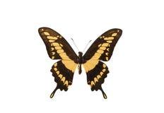 被隔绝的热带蝴蝶 库存照片