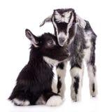 被隔绝的牲口山羊 图库摄影