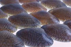被隔绝的特写镜头新鲜的未加工的海浪蛤蜊 免版税库存照片