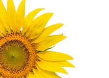 被隔绝的特写镜头黄色向日葵写背景 库存照片