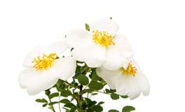 被隔绝的狂放的玫瑰色花 免版税库存图片