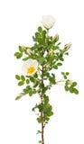被隔绝的狂放的玫瑰色花 免版税库存照片