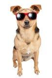 被隔绝的狗小小鹿红色太阳镜 免版税库存照片
