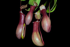 被隔绝的猪笼草植物(黑背景) 免版税库存照片