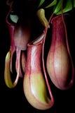 被隔绝的猪笼草植物(黑背景) 免版税库存图片