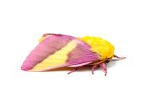 被隔绝的玫瑰色槭树飞蛾 免版税图库摄影