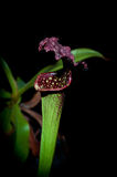 被隔绝的瓶子草植物(黑背景) 库存照片