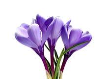 被隔绝的番红花三朵紫罗兰色花 免版税库存照片