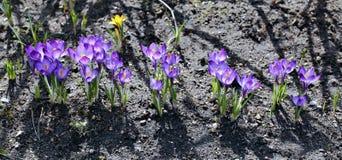 被隔绝的番红花紫罗兰色花 库存照片