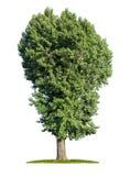 被隔绝的白扬树 免版税库存图片