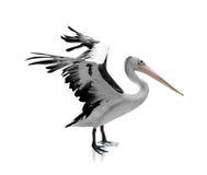被隔绝的白的黑苍鹭 免版税库存照片