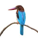 被隔绝的白红喉刺莺的翠鸟 免版税图库摄影