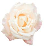 被隔绝的白色和桃红色新玫瑰色花关闭 免版税库存照片