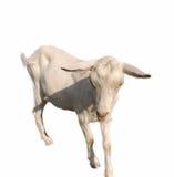 被隔绝的白色幼小她山羊 库存图片