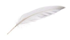 被隔绝的白色鹅羽毛 免版税库存图片