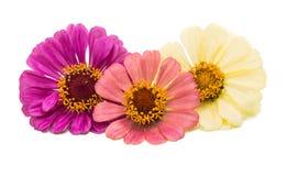被隔绝的百日菊属花 库存照片