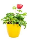 被隔绝的盆的红色银莲花属花 免版税库存图片