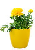 被隔绝的盆的黄色毛茛属花 免版税库存图片