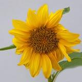 被隔绝的矮小的向日葵植物 免版税库存图片