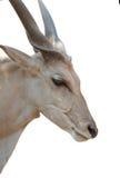 被隔绝的石山羊 免版税库存照片