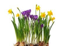 被隔绝的第一朵春天花黄水仙和番红花。 库存图片