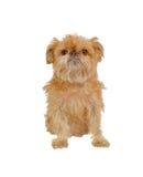 被隔绝的粗野的Griffon Bruxellois狗开会 免版税库存图片