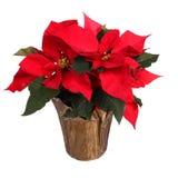 被隔绝的红色一品红花 圣诞节花 库存照片
