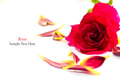 被隔绝的红色玫瑰 免版税库存图片