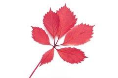 被隔绝的红色野蛮叶子 免版税库存照片