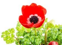 被隔绝的红色银莲花属花开花 免版税图库摄影