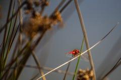 被隔绝的红色蜻蜓 免版税库存图片