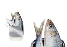 被隔绝的罐装新鲜的沙丁鱼 库存照片