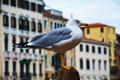 被隔绝的美丽的海鸥在威尼斯,意大利 免版税库存图片