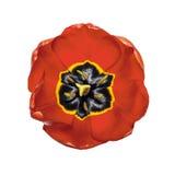 被隔绝的美丽的头状花序红色鸦片 库存照片
