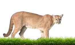 被隔绝的美洲狮 免版税库存图片