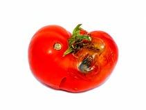 被隔绝的腐烂的蕃茄 免版税库存照片