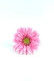 被隔绝的花桃红色颜色 免版税库存图片