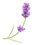 被隔绝的花紫罗兰色淡紫色草本 库存图片