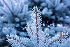 被隔绝的蓝色杉木分支 库存图片