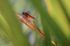 被隔绝的蓝色蜻蜓 免版税库存照片