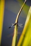 被隔绝的蓝色蜻蜓 免版税库存图片