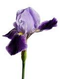 被隔绝的虹膜紫罗兰色花 免版税库存图片
