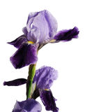 被隔绝的虹膜紫罗兰色花 库存图片